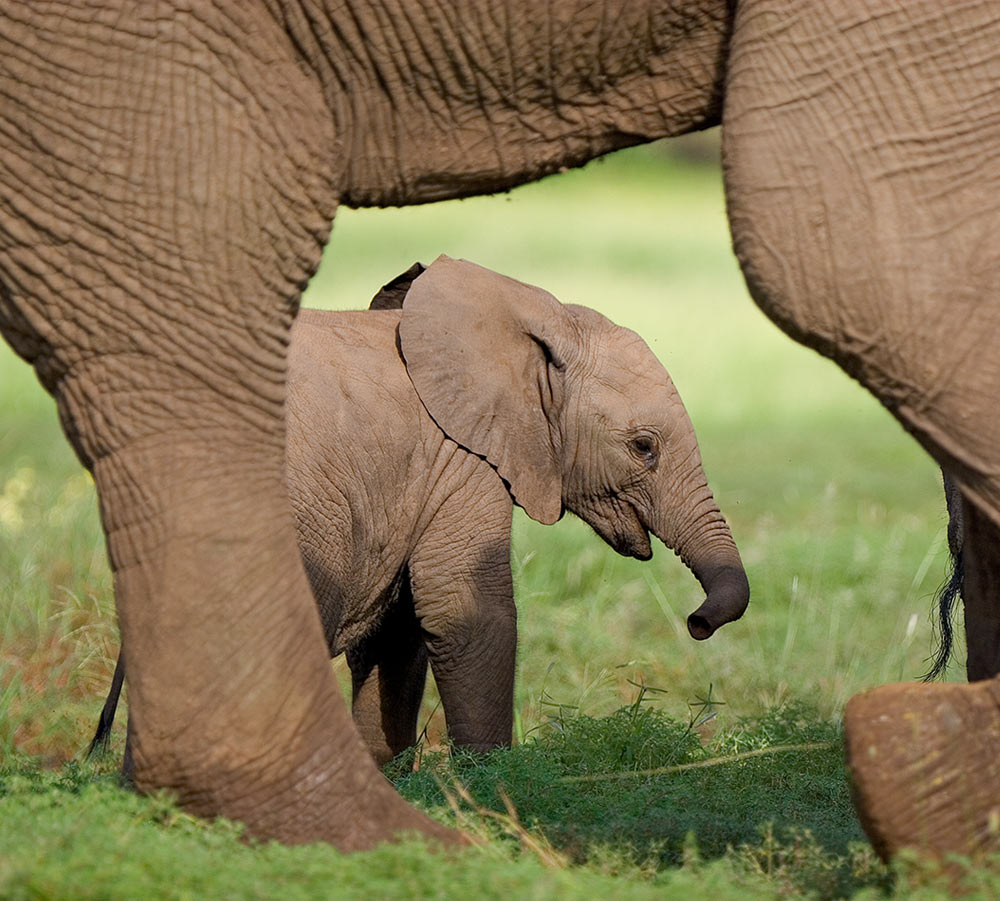 Elephant Calf and Mother - Manyoni Private Game Reserve