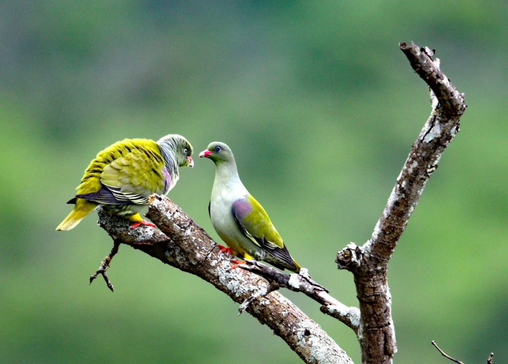 African Green Pigeon by Adam Riley