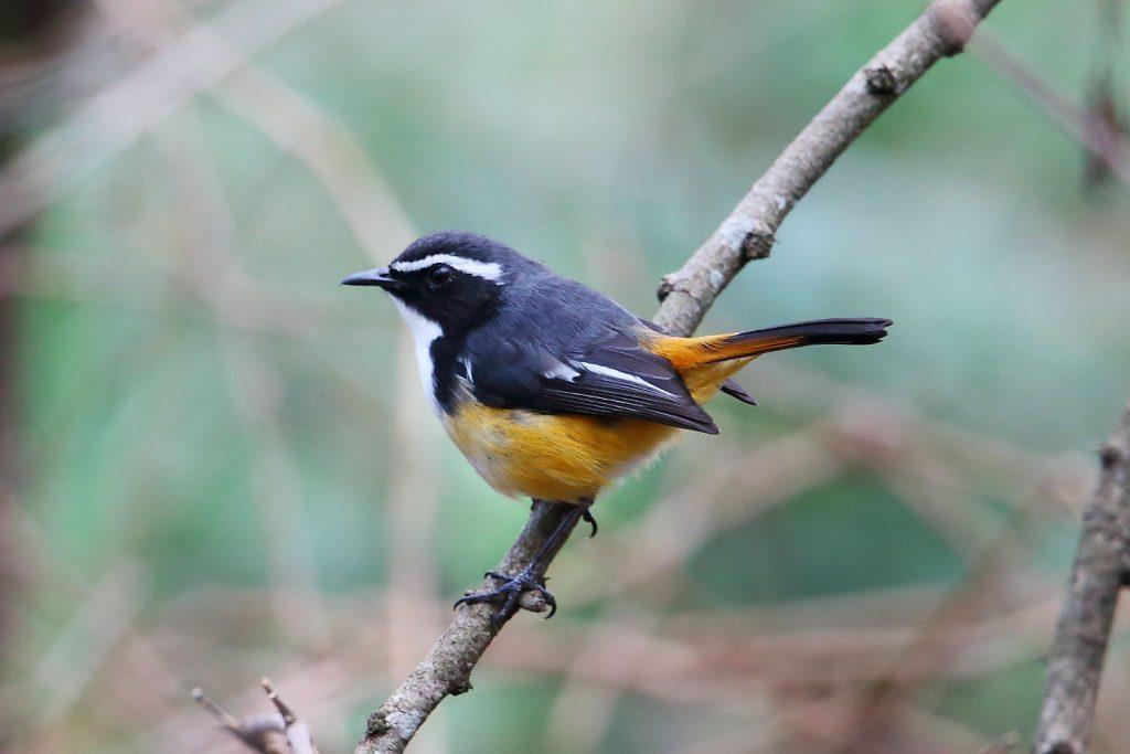 White-throated Robin-Chat by Adam Riley - Zebra Hills Safari Lodge